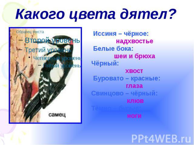 Какого цвета дятел? Иссиня – чёрное: надхвостье Белые бока: шеи и брюха Чёрный: хвост Буровато – красные: глаза Свинцово – чёрный: клюв Тёмно – бурые: ноги