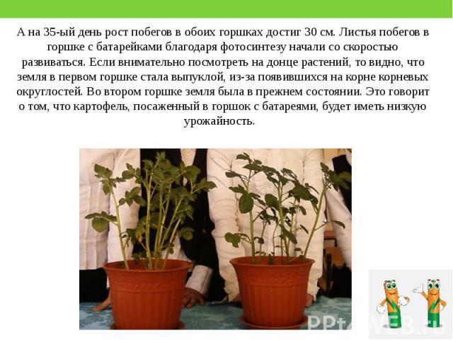 А на 35-ый день рост побегов в обоих горшках достиг 30 см. Листья побегов в горшке с батарейками благодаря фотосинтезу начали со скоростью развиваться. Если внимательно посмотреть на донце растений, то видно, что земля в первом горшке стала выпуклой…