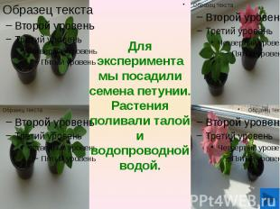Для эксперимента мы посадили семена петунии. Растения поливали талой и водопрово