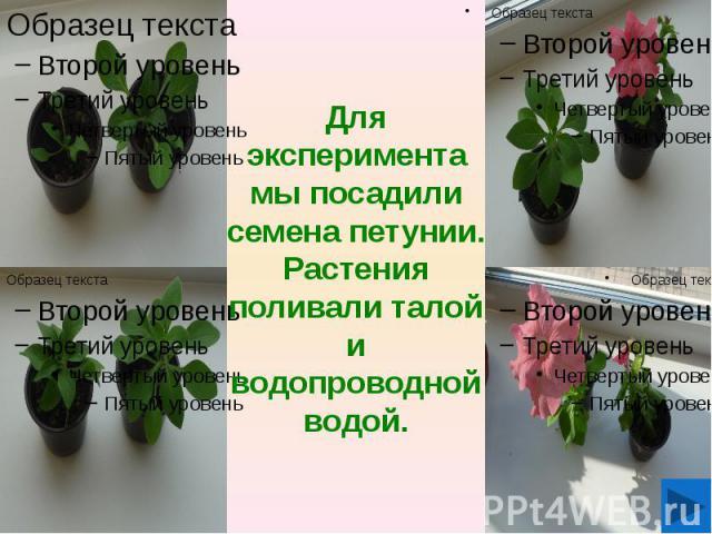 Для эксперимента мы посадили семена петунии. Растения поливали талой и водопроводной водой.