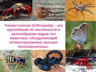Членистоногие (Arthropoda) – это крупнейший по численности и разнообразию видов