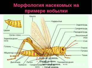 Морфология насекомых на примере кобылки