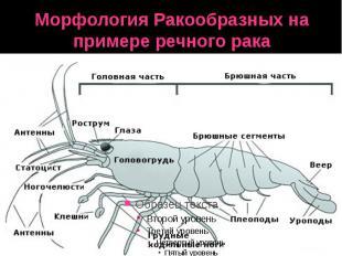 Морфология Ракообразных на примере речного рака