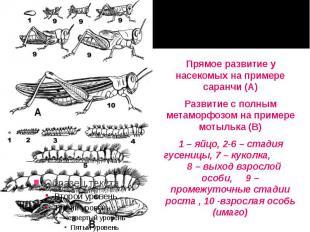 Прямое развитие у насекомых на примере саранчи (А) Прямое развитие у насекомых н