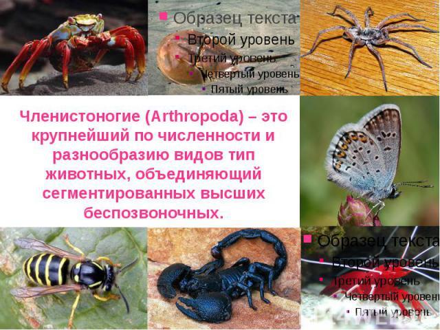 Членистоногие (Arthropoda) – это крупнейший по численности и разнообразию видов тип животных, объединяющий сегментированных высших беспозвоночных.