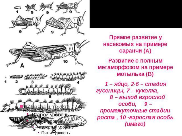 Прямое развитие у насекомых на примере саранчи (А) Прямое развитие у насекомых на примере саранчи (А) Развитие с полным метаморфозом на примере мотылька (В) 1 – яйцо, 2-6 – стадия гусеницы, 7 – куколка, 8 – выход взрослой особи, 9 – промежуточные ст…