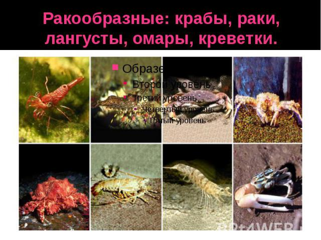 Ракообразные: крабы, раки, лангусты, омары, креветки.