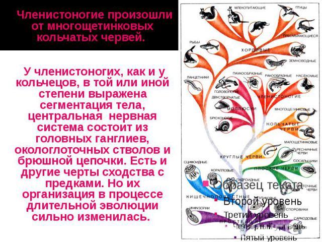 Членистоногие произошли от многощетинковых кольчатых червей. Членистоногие произошли от многощетинковых кольчатых червей. У членистоногих, как и у кольчецов, в той или иной степени выражена сегментация тела, центральная нервная система состоит из го…