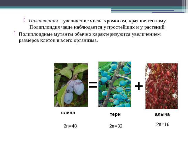 Полиплоидия – увеличение числа хромосом, кратное генному. Полиплоидия чаще наблюдается у простейших и у растений. Полиплоидия – увеличение числа хромосом, кратное генному. Полиплоидия чаще наблюдается у простейших и у растений. Полиплоидные мутанты …
