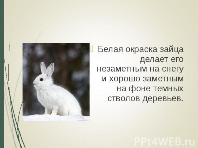 Белая окраска зайца делает его незаметным на снегу и хорошо заметным на фоне темных стволов деревьев. Белая окраска зайца делает его незаметным на снегу и хорошо заметным на фоне темных стволов деревьев.