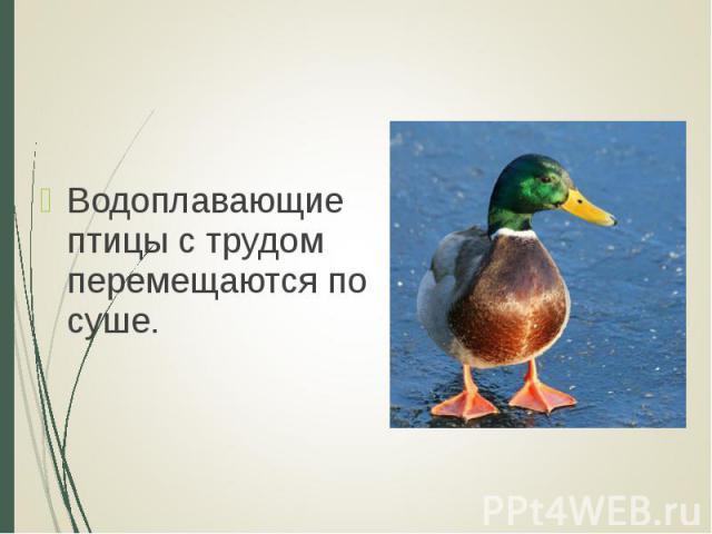 Водоплавающие птицы с трудом перемещаются по суше. Водоплавающие птицы с трудом перемещаются по суше.