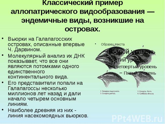 Классический пример аллопатрического видообразования — эндемичные виды, возникшие на островах. Вьюрки на Галапагосских островах, описанные впервые Ч. Дарвином. Молекулярный анализ их ДНК показывает, что все они являются потомками одного единственног…