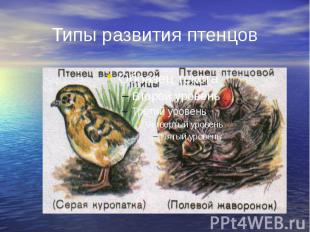 Типы развития птенцов