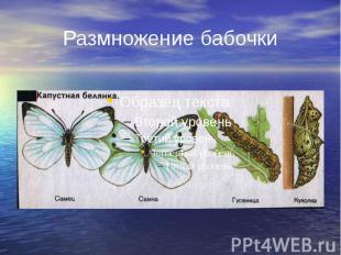 Размножение бабочки