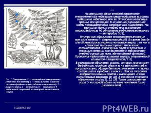 «» «» На верхушках одних стеблей появляются многоклеточные небольшие кувшинообра