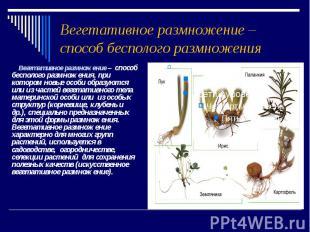 Вегетативное размножение – способ бесполого размножения Вегетативное размножение