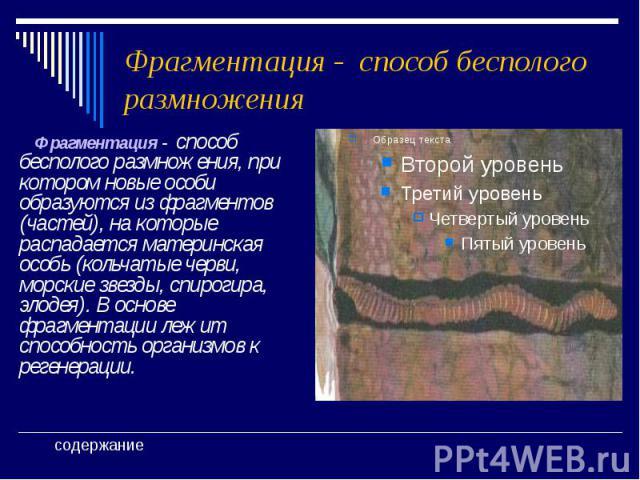 Фрагментация - способ бесполого размножения Фрагментация - способ бесполого размножения, при котором новые особи образуются из фрагментов (частей), на которые распадается материнская особь (кольчатые черви, морские звезды, спирогира, элодея). В осно…