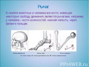 Рычаг В скелете животных и человека все кости, имеющие некоторую свободу движени