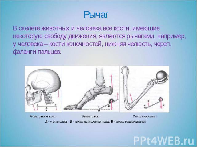 Рычаг В скелете животных и человека все кости, имеющие некоторую свободу движения, являются рычагами, например, у человека – кости конечностей, нижняя челюсть, череп, фаланги пальцев.