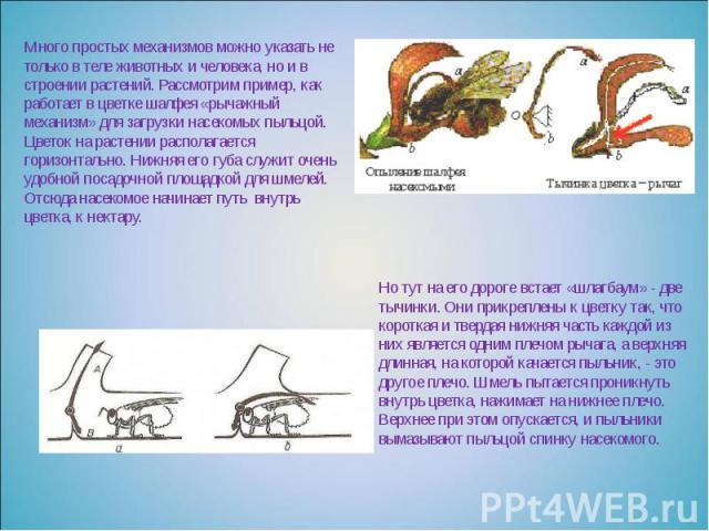 Много простых механизмов можно указать не только в теле животных и человека, но и в строении растений. Рассмотрим пример, как работает в цветке шалфея «рычажный механизм» для загрузки насекомых пыльцой. Цветок на растении располагается горизонтально…