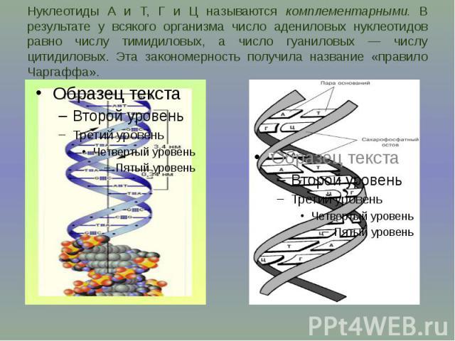 Нуклеотиды А и Т, Г и Ц называются комплементарными. В результате у всякого организма число адениловых нуклеотидов равно числу тимидиловых, а число гуаниловых — числу цитидиловых. Эта закономерность получила название «правило Чаргаффа».