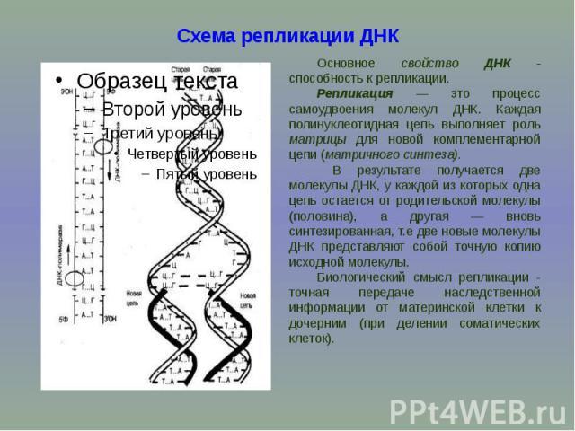Схема репликации ДНК Основное свойство ДНК - способность к репликации. Репликация — это процесс самоудвоения молекул ДНК. Каждая полинуклеотидная цепь выполняет роль матрицы для новой комплементарной цепи (матричного синтеза). В результате получаетс…