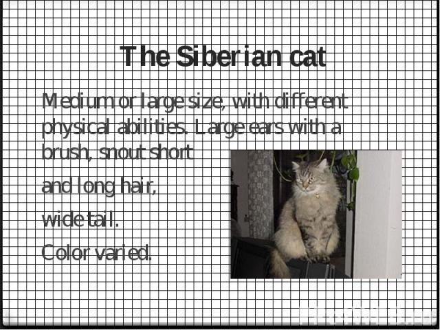The Siberian cat Medium or large size, with different physical abilities. Large ears with a brush, snout short and long hair, wide tail. Color varied.