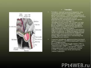 Гипофиз: Гипофиз: Гипофиз, нижний мозговой придаток, или питуитарная железа (hyp