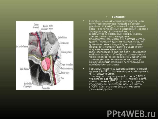 Гипофиз: Гипофиз: Гипофиз, нижний мозговой придаток, или питуитарная железа (hypaphisis cerebri, glandula pituitaris), - сложный эндокринный орган, расположенный в основании черепа в турецком седле основной кости и анатомически связанный ножкой с дн…