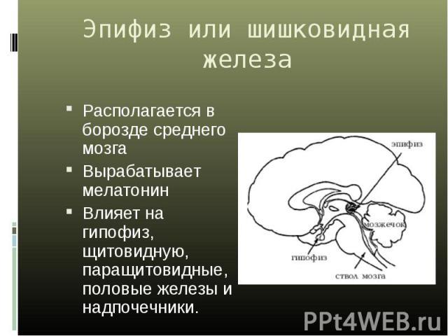 Располагается в борозде среднего мозга Располагается в борозде среднего мозга Вырабатывает мелатонин Влияет на гипофиз, щитовидную, паращитовидные, половые железы и надпочечники.