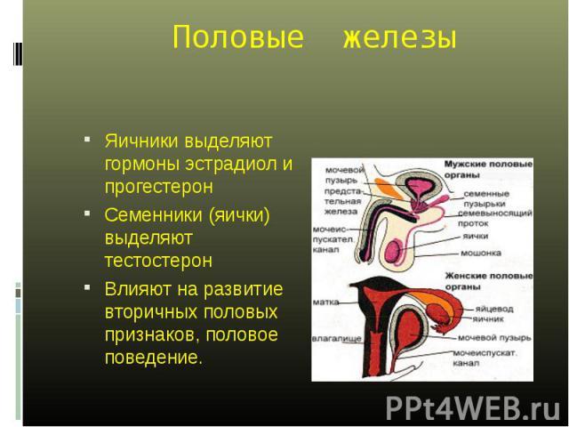 Яичники выделяют гормоны эстрадиол и прогестерон Яичники выделяют гормоны эстрадиол и прогестерон Семенники (яички) выделяют тестостерон Влияют на развитие вторичных половых признаков, половое поведение.
