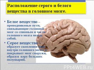 Белое вещество – проводниковые пути, связывающие головной мозг со спинным и част
