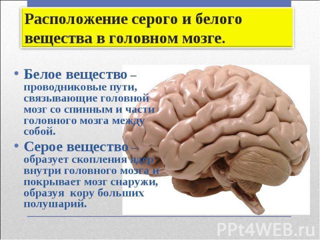 Белое вещество – проводниковые пути, связывающие головной мозг со спинным и части головного мозга между собой. Белое вещество – проводниковые пути, связывающие головной мозг со спинным и части головного мозга между собой. Серое вещество – образует с…