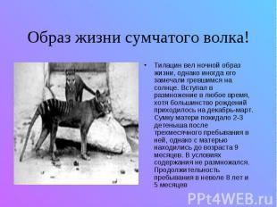 Образ жизни сумчатого волка! Тилацин вел ночной образ жизни, однако иногда его з