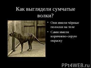 Как выглядели сумчатые волки? Они имели чёрные полоски на теле Сами имели коричн