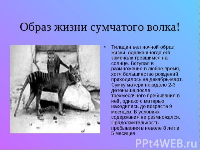 Образ жизни сумчатого волка! Тилацин вел ночной образ жизни, однако иногда его замечали гревшимся на солнце. Вступал в размножение в любое время, хотя большинство рождений приходилось на декабрь-март. Сумку матери покидало 2-3 детеныша после трехмес…