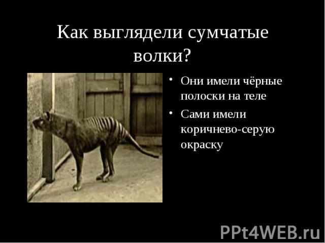 Как выглядели сумчатые волки? Они имели чёрные полоски на теле Сами имели коричнево-серую окраску