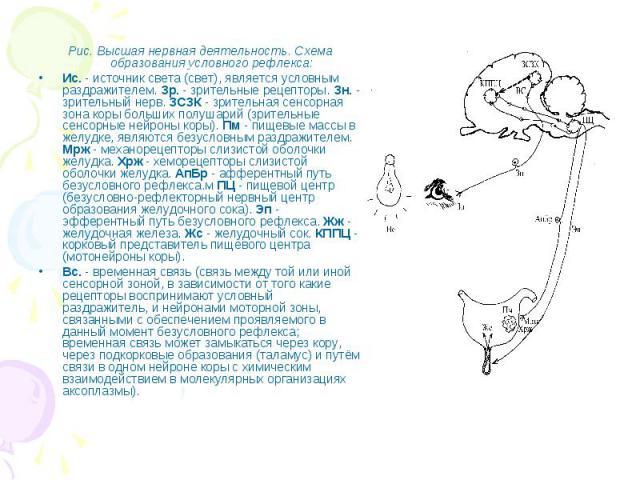 Рис. Высшая нервная деятельность. Схема образования условного рефлекса: Рис. Высшая нервная деятельность. Схема образования условного рефлекса: Ис. - источник света (свет), является условным раздражителем. Зр. - зрительные рецепторы. Зн. - зрительны…