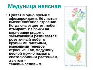 Медуница неясная Цветет в одно время с эфемероидами. Её листья имеют световое ст