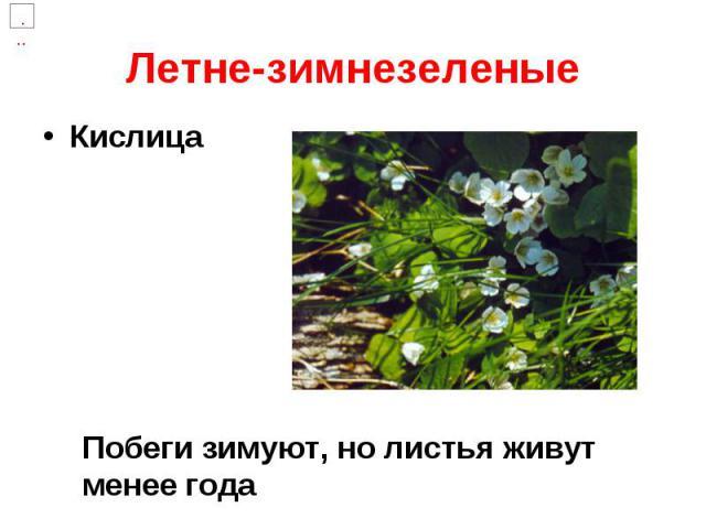 Летне-зимнезеленые Кислица
