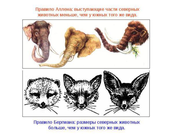 Правило Бергмана: размеры северных животных больше, чем у южных того же вида.