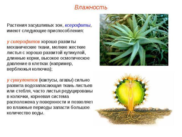 Растения засушливых зон, ксерофиты, имеют следующие приспособления: у склерофитов хорошо развиты механические ткани, мелкие жесткие листья с хорошо развитой кутикулой, длинные корни, высокое осмотическое давление в клетках (например, верблюжья колюч…