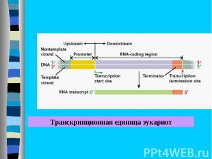 Транскрипционная единица эукариот