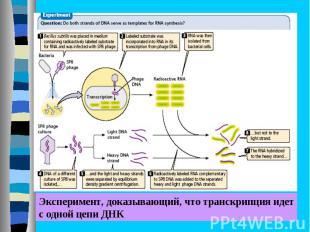 РНК транскрибируется комплементарно и антипараллельно с одной из цепей ДНК