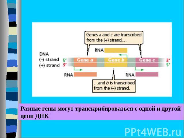 Разные гены могут транскрибироваться с одной и другой цепи ДНК