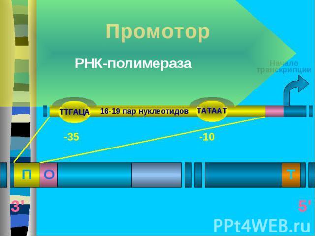 Бактериальная РНК-полимераза