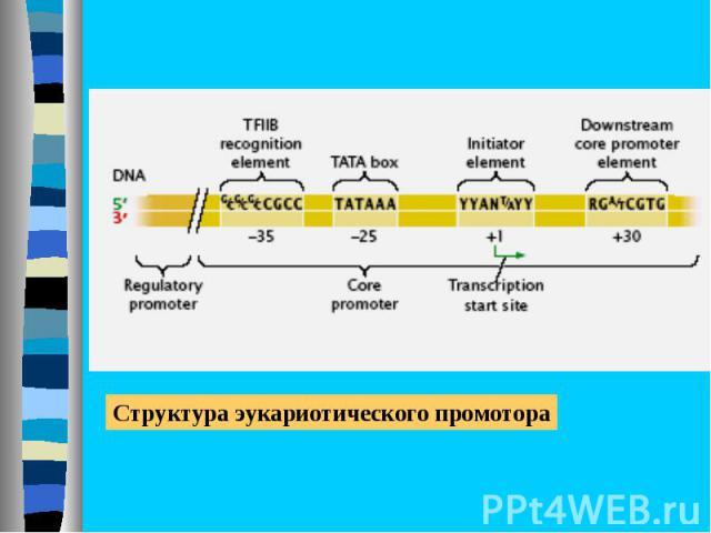 Разнообразие РНК-полимераз в эукариотических клетках