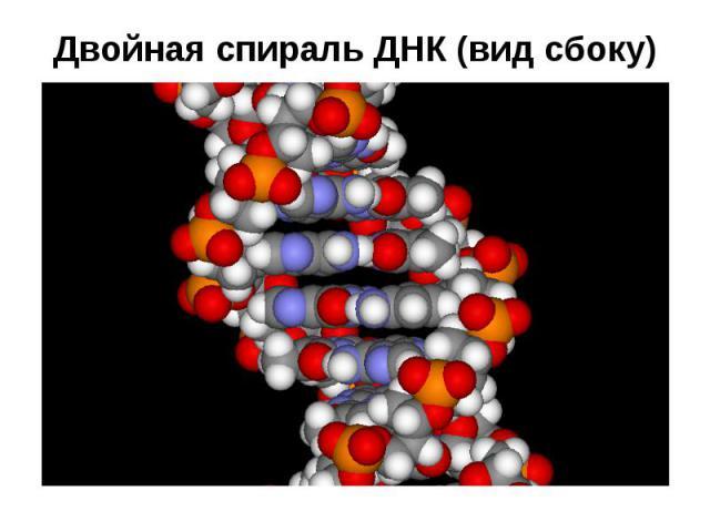 Двойная спираль ДНК (вид сбоку)