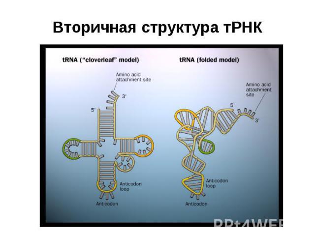 Вторичная структура тРНК
