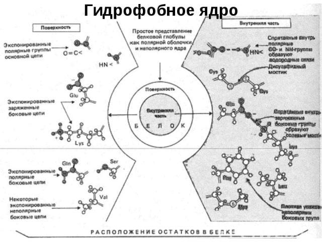 Гидрофобное ядро